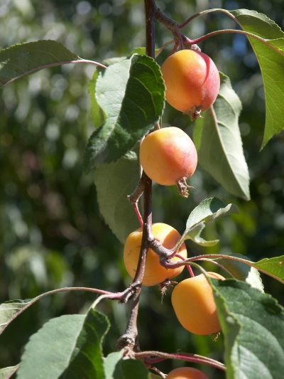 Great fruit trees for pot planting