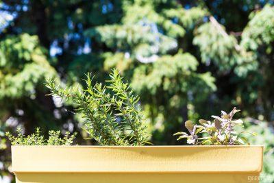 Herb garden on the windowsill