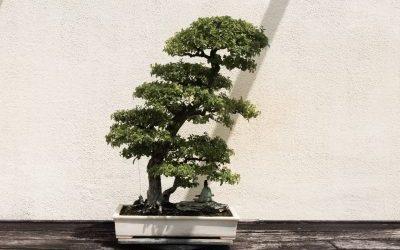 Growing your own bonsai tree