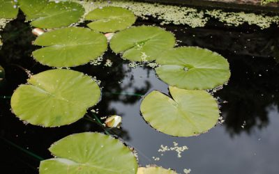 Autumn pond care in your garden