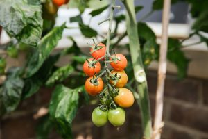 Growing tomatoes at home: a guide to growing vegetables