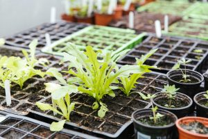 Growing seedlings under cover: a guide to growing vegetables