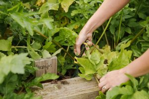 Growing parsnips in a raised bed: guide to growing vegetables