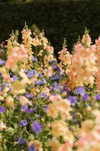 Snapdragons, pet safe garden plants