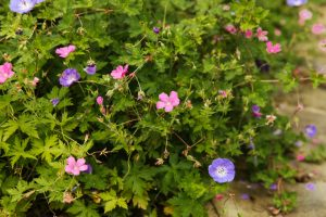 Hardy geraniums, a great flower for summer colour