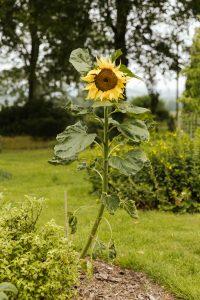Sunflowers are pet safe garden plants