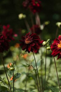 Dramatic dahlias, a great flower for summer colour
