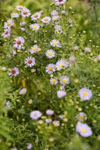 Asters are pet safe garden plants