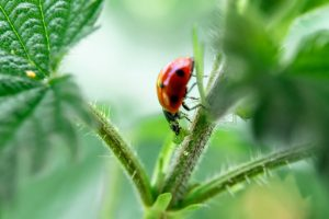 Ladybirds and other wildlife are our ally in combating garden pests