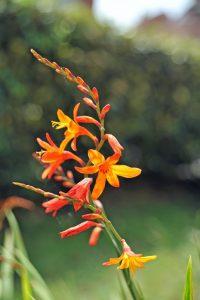 Crocosmia are a beautiful colourful tropical flower