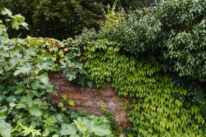 Hedera helix or English ivy is a great plant for shady gardens.