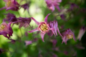 Aquilegia is a great plant for shady gardens