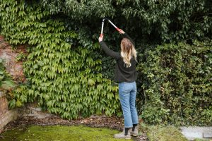 Pruning climbing plants in the summer