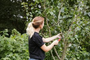 Pruning fruit trees in the summer
